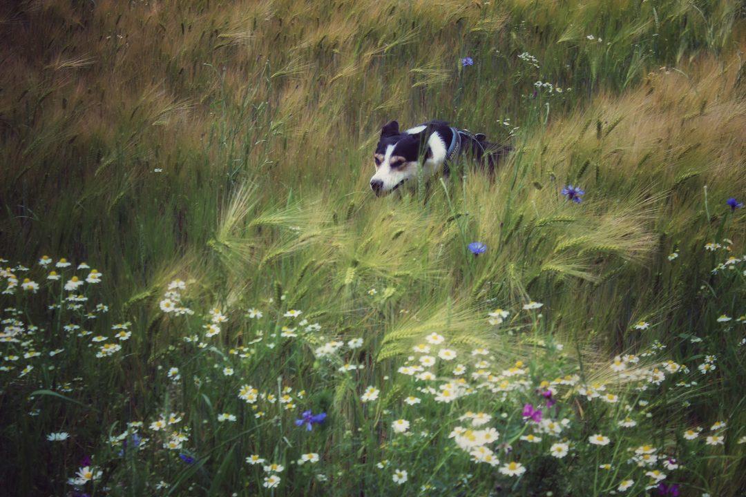 Hund rennt durch Getreidefeld