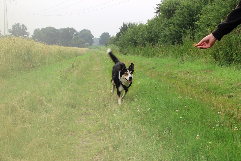 Hund rennt auf Hand mit Leckerei
