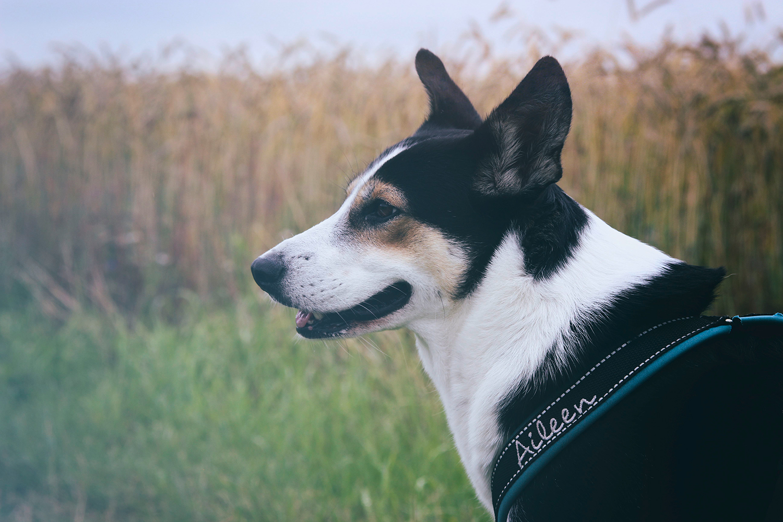 Hund vor Feld guckt zur Seite