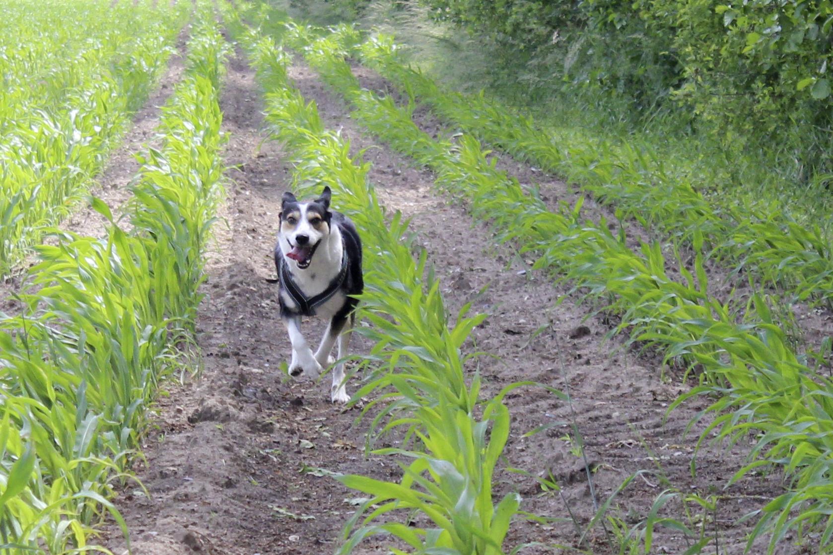 Hund rennt über Maisfeld