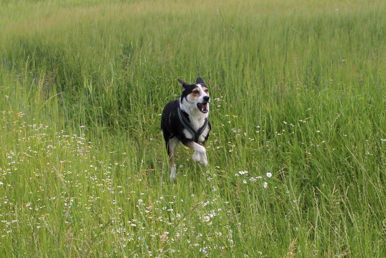Hund rennt über Wiese