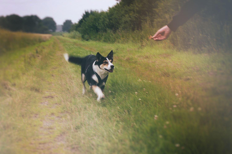 Hund rennt auf Feldweg zu Hand mit Leckerei