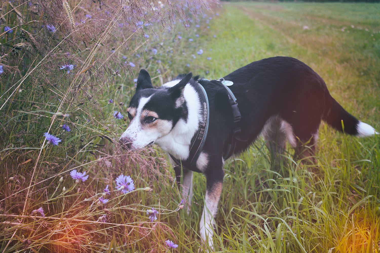 Hund schnüffelt an Kornblumen