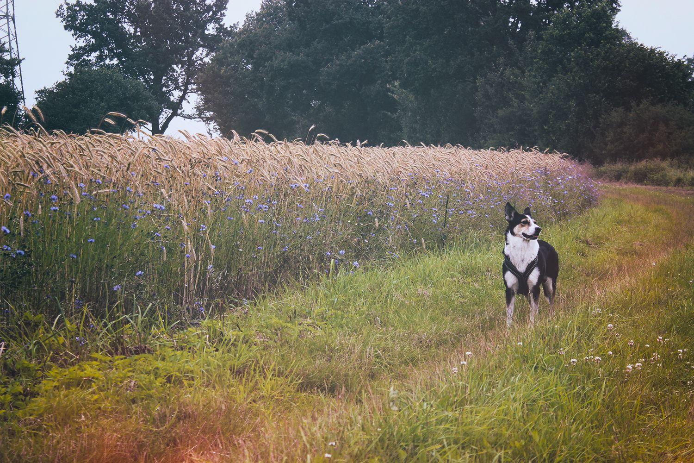 Hund steht auf Feldweg am Kornfeld