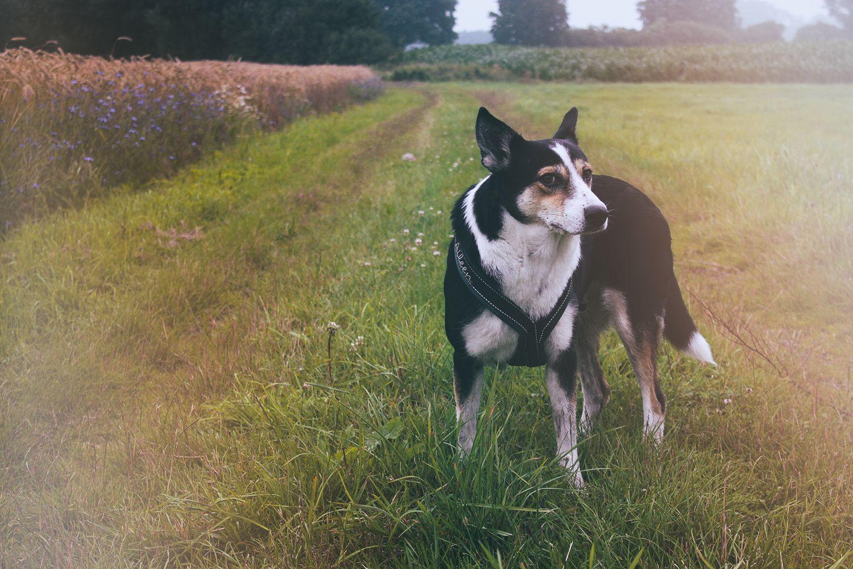 Hund steht auf Feldweg - Regenspaziergang